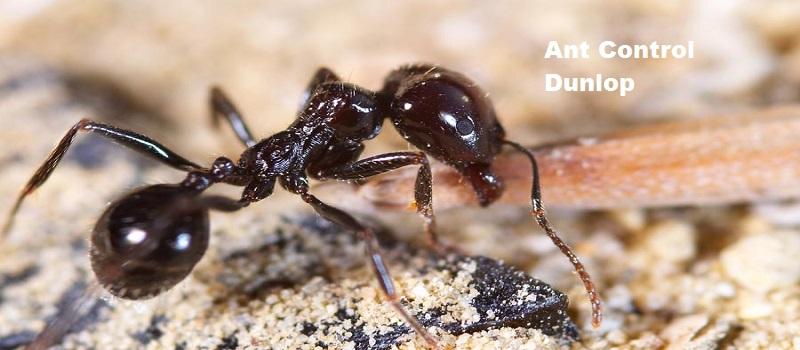 Ant Control Dunlop